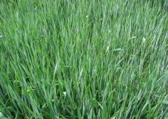 Plonowanie zbóż na polach demonstracyjnych w Lędzinach – żyto Fernando F1.