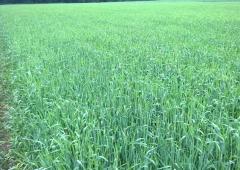 Wyniki plonowania zbóż w 2016 roku na polach demonstracyjnych w Lędzinach