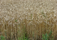 Rekordowe plony pszenicy ozimej w powiecie bieruńsko-lędzińskim