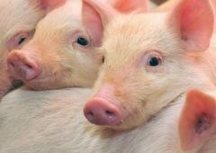 Zakaz importu do Polski świń i mięsa wieprzowego  z tzw. stref czerwonych ASF