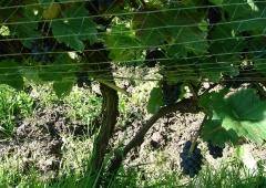 Strategia zwalczania chorób i szkodników roślin jagodowych. Zwalczanie patogenów glebowych.