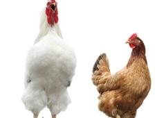 UWAGA !!! PTASIA GRYPA WIRUS HPAI - ATAKUJE Dwa ogniska ptasiej grypy na Śląsku Cieszyńskim.