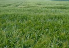 Rekordowe plony jęczmienia ozimego w 2016