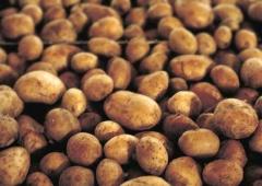 W poszukiwaniu dobrej odmiany ziemniaków