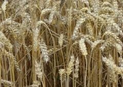 Plonowanie zbóż na polach demonstracyjnych w Lędzinach – pszenica ozima Bodycek