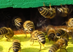 Optymalizacja prac w gospodarce pasiecznej,  profilaktyka i bioasekuracji rodzin pszczelich,  aktualny komunikat GIW w sprawie preparatu  Apivar 500 mg (Amitrazum),  - aktualne zalecenia pszczelarskie na miesiąc maj