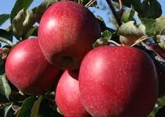 Jedno jabłko dziennie trzyma lekarza daleko ode mnie!