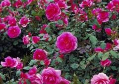 Kopczykowanie, okrywanie i przycinanie róż na zimę