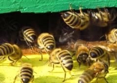 PSZCZELARSKI Apel do Grzegorza Pudy Ministra Rolnictwa i Rozwoju Wsi - Pszczelarze chcą dopłat do każdej rodziny pszczelej