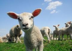31 grudnia upływa termin dokonania spisu zwierząt gospodarskich podlegających obowiązkowi oznakowania